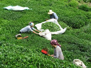 Teeplantage in Rize